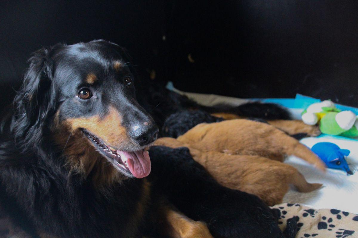 Hovawart pups geboren!