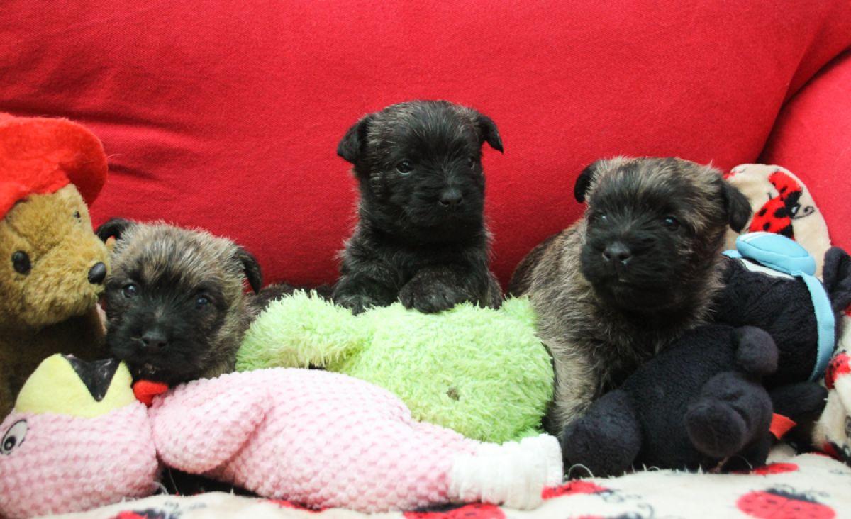 Cairn Terriër pups alweer 4 weken oud!