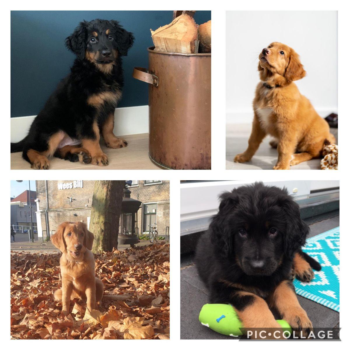 De vier pups van Choco