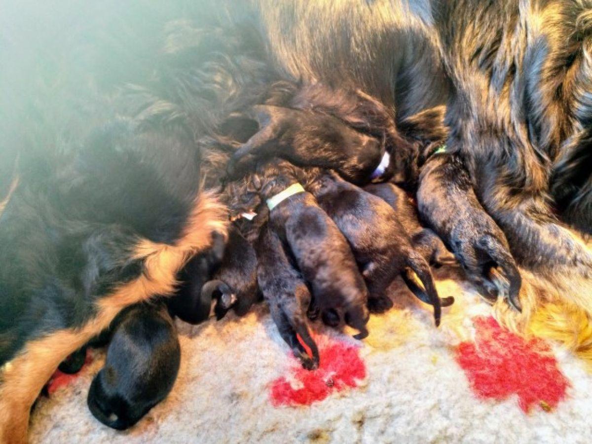 Puppies geboren!! 11 Hovawart ukkies!
